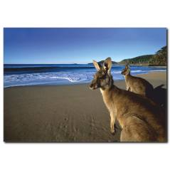 Kanguru Temalı Kanvas Tablo